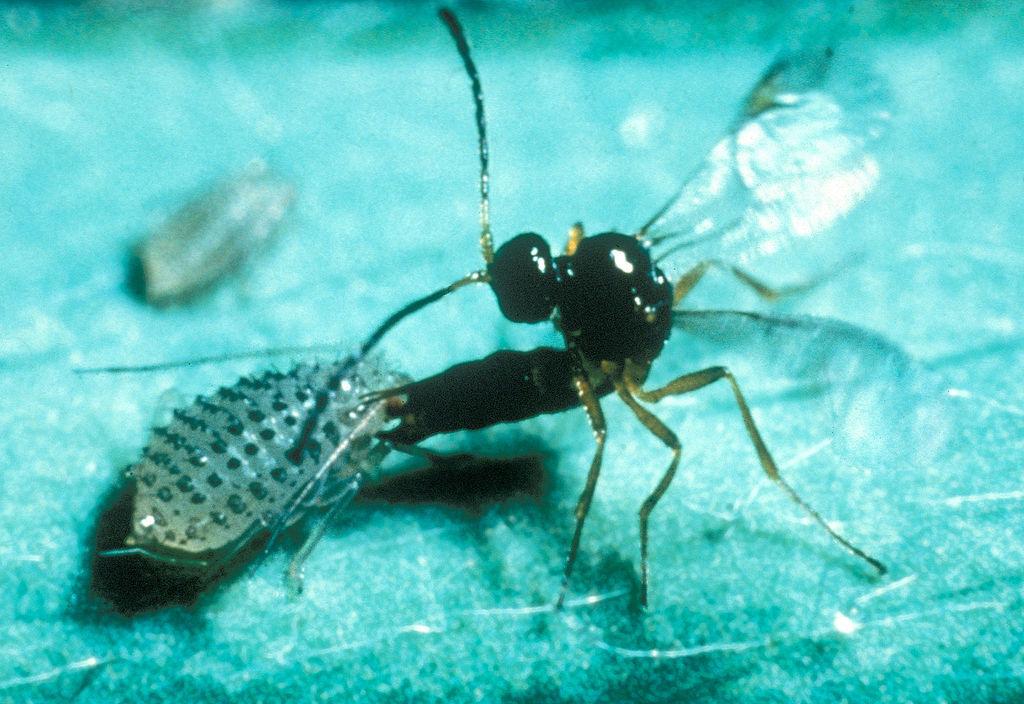 Trioxys complanatus